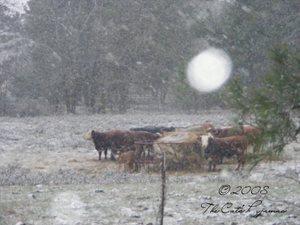 Cold_cows_2_4