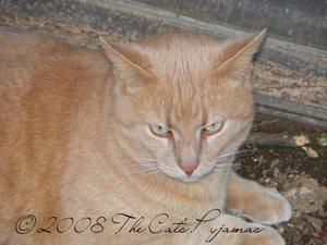 Orange_cat2